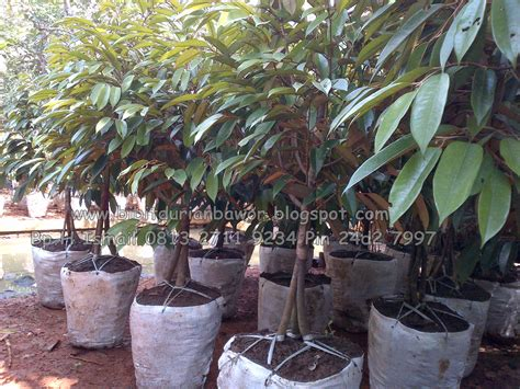 Harga Bibit Pohon Durian Merah pohon durian bibit durian montong bibit durian unggul