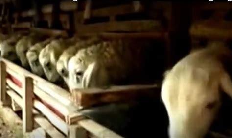 Fermentasi Pakan Ternak Kambing Tanpa Ngarit tips ternak kambing guru ini pelihara 52 domba tanpa ngarit