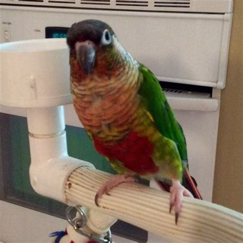 green cheek conure 119562 for sale in st charles mo