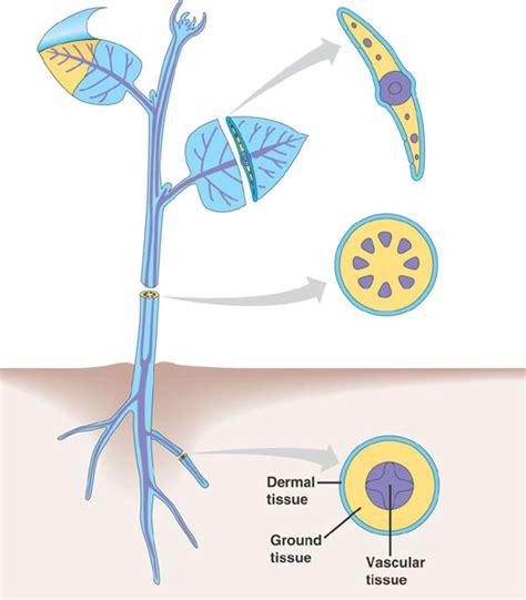 vascular tissue diagram vascular tissue in plants diagram www pixshark