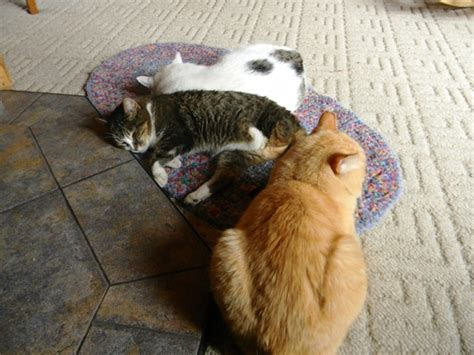 Cat On Rugs by Cats Go The World S Most Boring Rug Catster