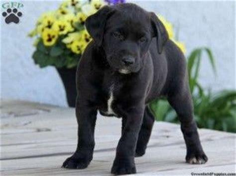 pug st bernard mix black lab bernard mix puppies baby animals puppys