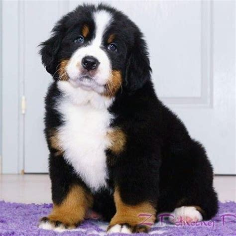 bernese mountain puppies illinois cornerstone bernese mountain dogs home