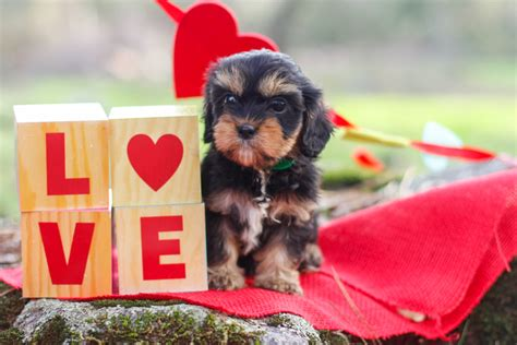 owning a yorkie 10 reasons why you should own a yorkie yorkshireterrierguide