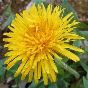 fiore giallo nomi fiori gialli pagina 1 flora spontanea