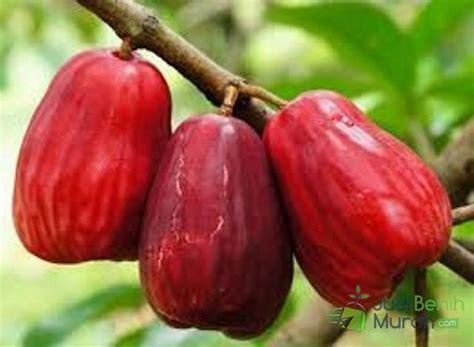 Bibit Jambu Air Demak 9 jenis tanaman buah jambu air unggulan dengan rasa paling