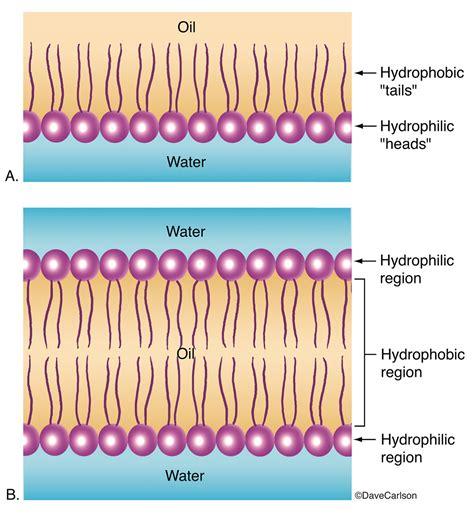 phospholipid layer bilayer carlson stock art