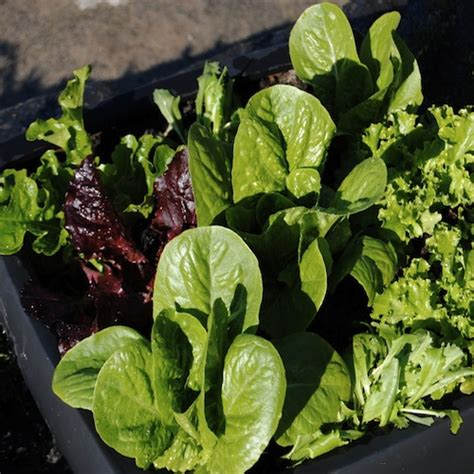 Lettuce Planter by Container Gardening Growing Vegetables In Planters