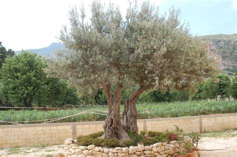 piante di ulivo da giardino arbusti sempreverdi piante da giardino caratteristiche