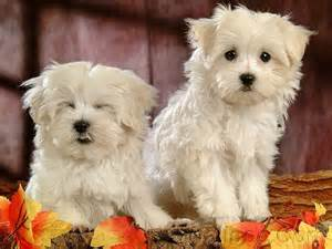 Maltese Puppies Dogs Maltese Puppy Dogs