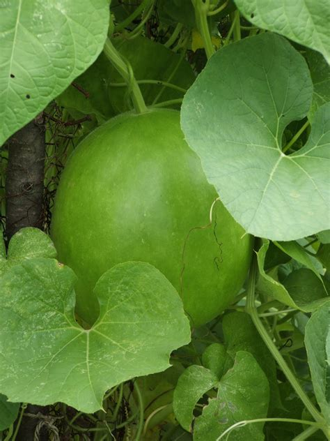 gods growing garden gourds gourds gourds