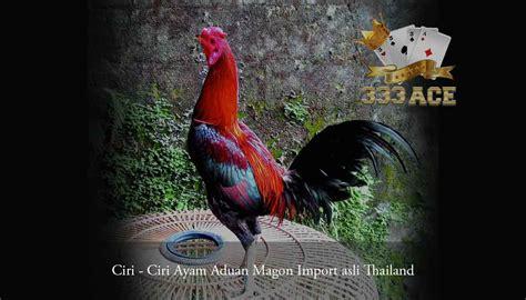 ciri ciri ayam aduan magon import asli thailand acetop