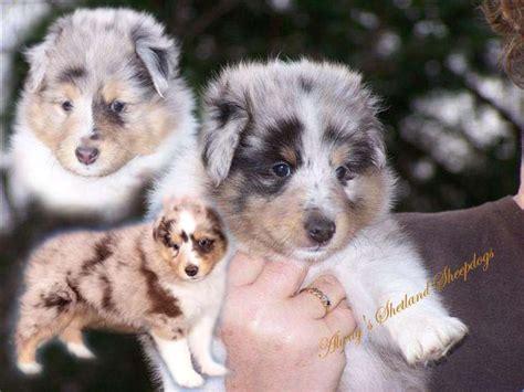 sheltie puppy for sale my sheltie puppies for sale by jewl40 on deviantart