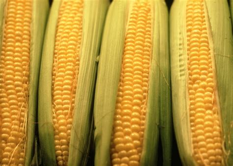 Sweet Corn: Planting, Growing and Harvesting Sweet Corn