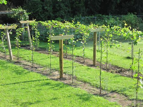 growing grapes in my vineyard finished trellis
