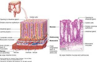 What Are The Four Sections Of The Large Intestine by Figure 15 24