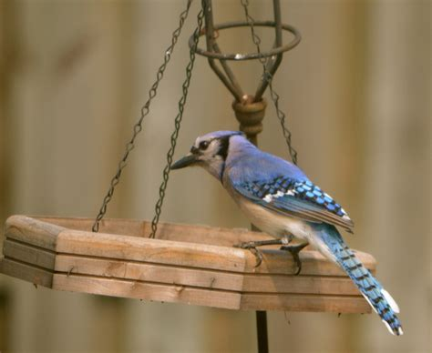 how to attract blue jays to your backyard how to attract blue jays to your backyard attracting blue