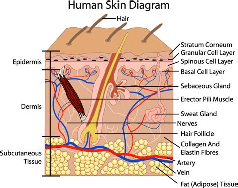 skin section diagram bma skin