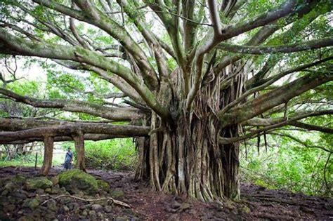 Pohon Cannonball arboles 241 os y bellos mundo 237 culos de