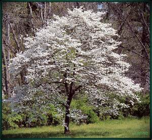 dogwood tree in bloom flickr photo sharing