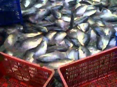 Panen Ikan 25 Bulan panen ikan gurami