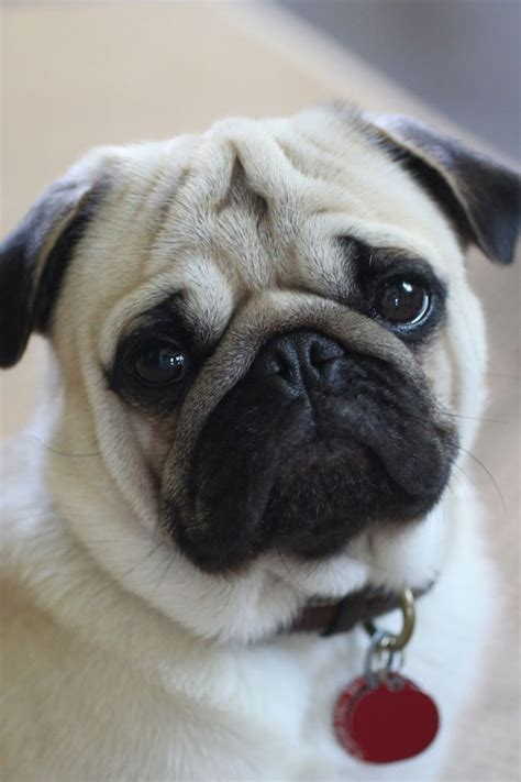are pugs related to bulldogs best 25 pugs ideas on pug puppies free pug