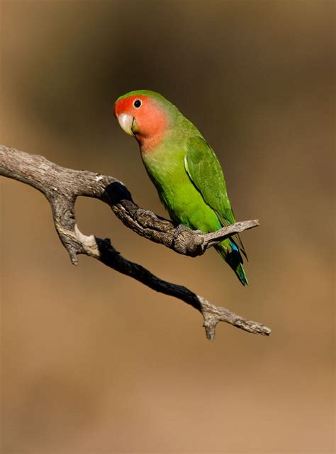 peach faced lovebirds facts pet care temperament price