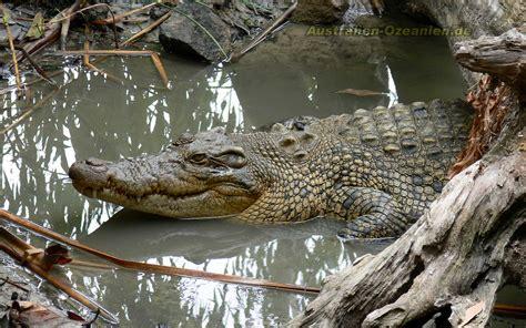 wallpaper krokodil crocodile wallpapers wallpaper cave