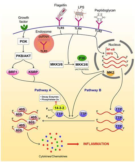 frontiers transcriptional regulation of mononuclear frontiers post transcriptional regulation of