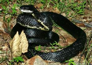 Garden Snake Tn Black Rat Snake Flickr Photo