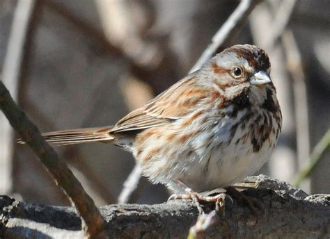 file song sparrow at rockville jpg wikimedia commons