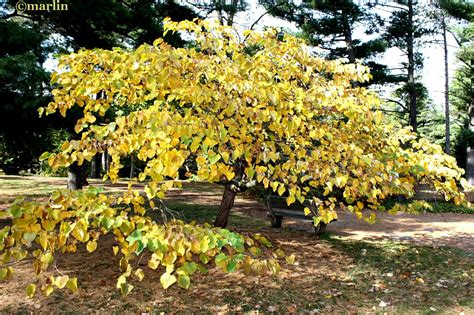 redbud tree in the fall replacement tree project pinterest