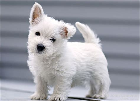 westies dogs 25 best ideas about west highland terrier on
