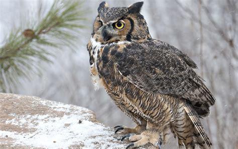 Owl In great horned owl in snow desktop background hd 2560x1724