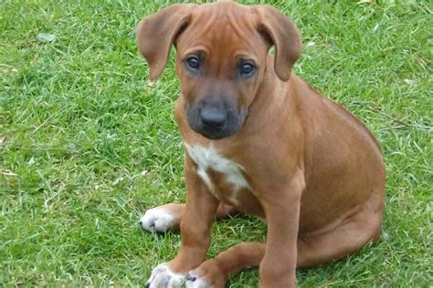 Rhodesian Ridgeback Puppies For Sale Bazar