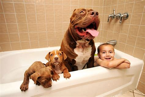Dogs In The Bathtub Position World S Largest Pitbull Hulk Has 8 Puppies Worth Up To