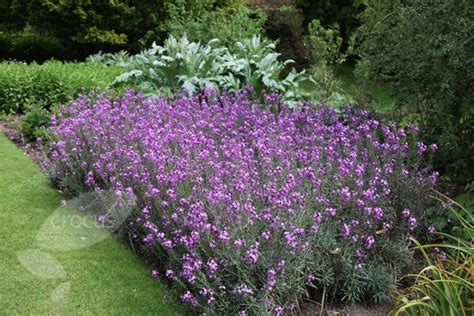 buy wallflower erysimum bowles s mauve delivery by