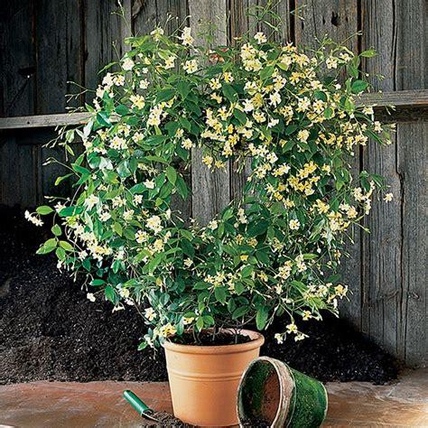 asian jasmine mandanianum trachelospermum asiaticum