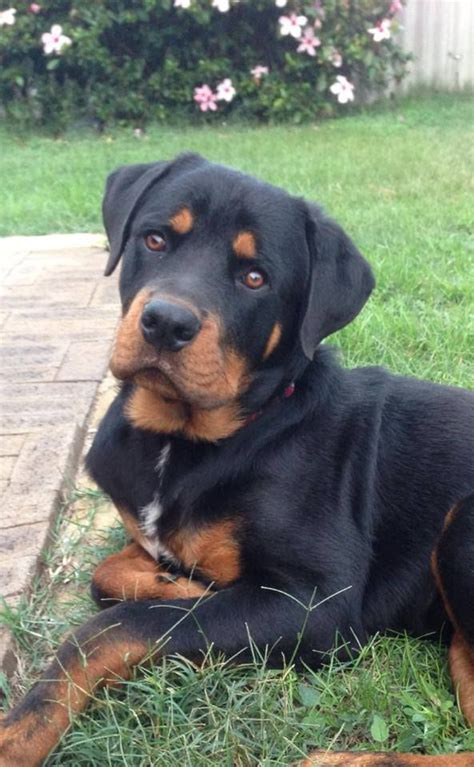 how big do rottweiler dogs get 25 best ideas about german rottweiler on baby rottweiler rottweiler
