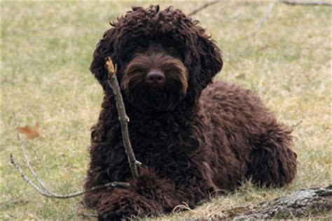 labradoodle puppies ma wool labradoodles labradoodle breeders in massachusetts labradoodles in new