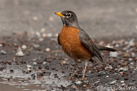 american robin multimedia birds of north america online