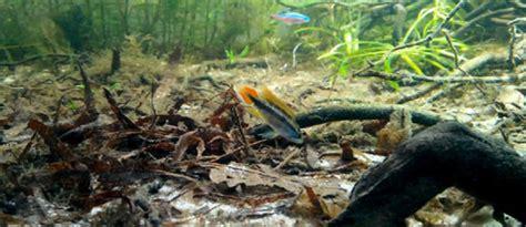 aquascapejuara melestarikan khas alam air  biotope
