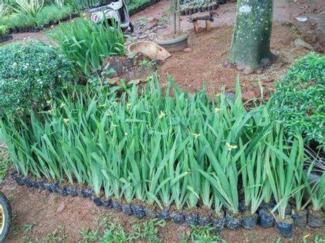 Tanaman Rumpai Lycopodium 1 jual tanaman airis tanaman hias bunga airis tanaman hias bunga airis berbakat taman