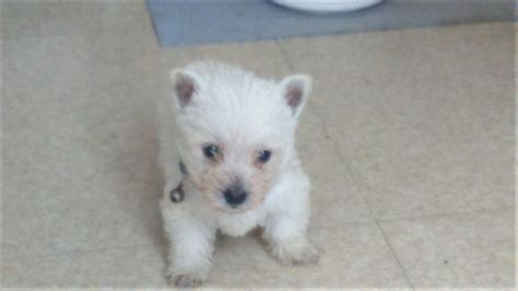 west highland white terrier puppies for sale quality white west highland terriers for sale gateshead tyne and wear pets4homes