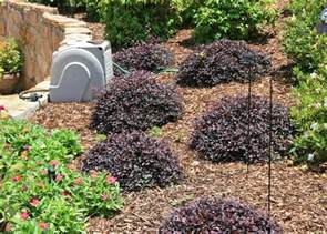 Ms State Flower - use loropetalum for early spring blooms mississippi
