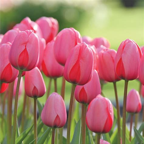 pink bulbs longfield gardens tulip pink impression bulbs 100 pack
