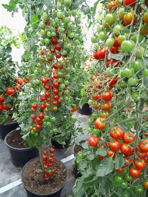 Wie Pflanze Ich Tomaten 4086 by Tomatensorten Infos Zu Der Vielfalt Der Tomate