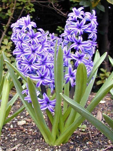 giacinto fiori fiori giacinto fiori di piante i fiori giacinto