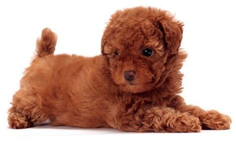 when do puppies lose their puppy fur top 30 dogs that don t shed small medium and large
