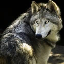 il mondo dei lupi